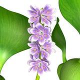 Eichhornia Royalty Free Stock Photo