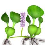 Eichhornia Royalty Free Stock Photos