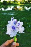 Eichhorniablomma Arkivfoton