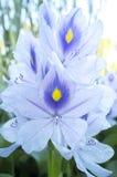 Eichhorniacrassipes eller blomma för vattenhyacint Royaltyfria Foton