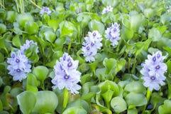 Eichhorniacrassipes eller blommor för vattenhyacint Arkivfoton
