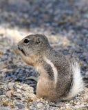 Eichhörnchen Lizenzfreie Stockbilder