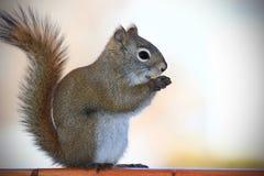 Eichhörnchen, das eine Erdnuss isst Lizenzfreie Stockfotografie