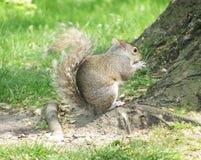 Eichhörnchen, das eine Mutter isst Lizenzfreies Stockfoto