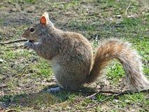 Eichhörnchen, das einen Schokoladenkuchen isst Stockfoto