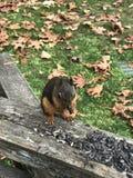 Eichhörnchen, das Muttern isst Lizenzfreie Stockfotografie