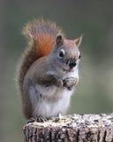 Eichhörnchen mit Muddy Nose Stockfotos