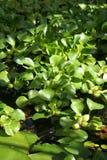 Eichornia vattenhyacint Arkivbild
