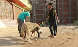 Eid al Adha. A Malaysia man holding a sheep at Eid Adha. This place is located at Tanta, Egypt Royalty Free Stock Image