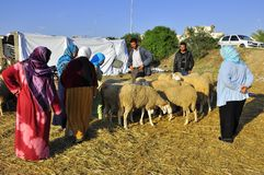 Eid sheep  market, selection of the sheep Stock Image
