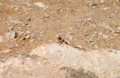 Eidechse über einem Felsen Lizenzfreie Stockbilder