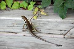 蜥蜴- Eidechse 免版税库存照片