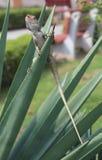 Eidechse auf Agave Stockfotografie