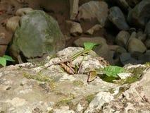 Eidechse auf den Felsen aalend in der Sonne Lizenzfreie Stockfotografie