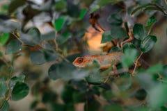 Eidechse auf der Niederlassung im Dschungel Stockbild