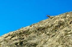Eidechse auf der Steigung des Berges Stockfotografie