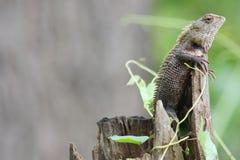 Eidechse auf einem Baum Sri Lanka Lizenzfreie Stockfotografie
