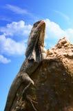 Eidechse auf einem Stein Stockbild