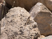 Eidechse auf Felsen Lizenzfreies Stockbild