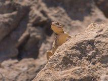 Eidechse auf Felsen Lizenzfreie Stockbilder