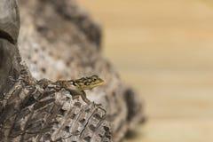 Eidechse auf Holz Stockfotografie