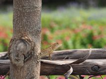 Eidechse auf Klotz hinter dem Baum-Stamm Stockfoto