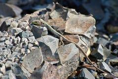 Eidechse auf Stein Stockfotografie