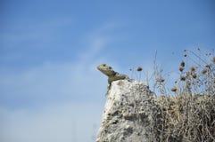 Eidechse auf Stein Stockbild