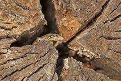 Eidechse aus seinem Schutz heraus Lizenzfreies Stockbild