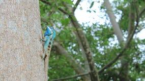 Eidechse Blau-mit Haube, Stockbild