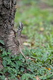 Eidechse Blau-mit Haube, die auf einem Baum klettert Stockfotos
