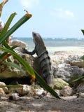 Eidechse in den Karibischen Meeren Lizenzfreie Stockfotos