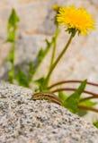 Eidechse der gemeinsamen Mauer und gelbe Blume Stockbilder