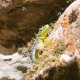 Eidechse, die auf den Felsen sitzt Stockbild