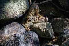 Eidechse, die auf einem Stein sitzt lizenzfreie stockfotos