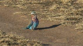 Eidechse, die durch Rolle auf Masai Mara Game Reserve, Kenia geschluckt wird stock video