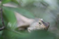 Eidechse, die in einem Busch sich versteckt Stockfoto