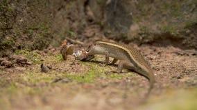Eidechse, die Frosch isst stock video