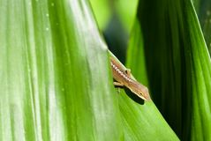 Eidechse, die hinter grünem Blatt sich versteckt lizenzfreie stockfotografie