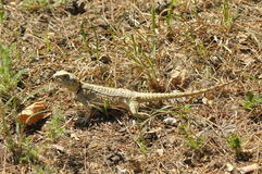 Eidechse, die im Sun sich aalt Kaltblütiges Reptil haut Stockfotografie