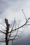 Eidechse, Leguan auf eine Oberseite des Baums, damit Wartezeit eine Libelle mit blauem Himmel und Wolken auf Hintergrund, filtert Lizenzfreie Stockfotografie
