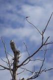 Eidechse, Leguan auf eine Oberseite des Baums, damit Wartezeit eine Libelle mit blauem Himmel und Wolken auf Hintergrund, filtert Stockfotos