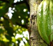 Eidechse nahe bei Kakao-Bohnen Lizenzfreie Stockbilder