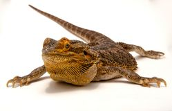 Eidechsen bärtiges Dragon Silhouette stockbilder