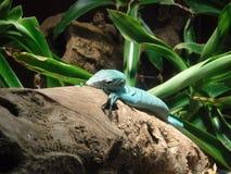 Eidechsen-Blau Stockfotos