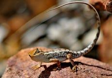 Eidechsen-Hinterland Australien Stockfotos