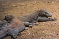 Eidechsen nach dem Mittagessen, Komodo-Insel, Indonesien Lizenzfreie Stockfotografie