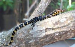 Eidechsen sind eine weit verbreitete Gruppe squamate Reptilien stockfotos