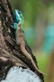 Eidechsenstillstehen Blau-mit Haube Lizenzfreies Stockbild