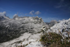 Eidelweiss. A very rare flower growing in Slovenian Alps (Europe Stock Images